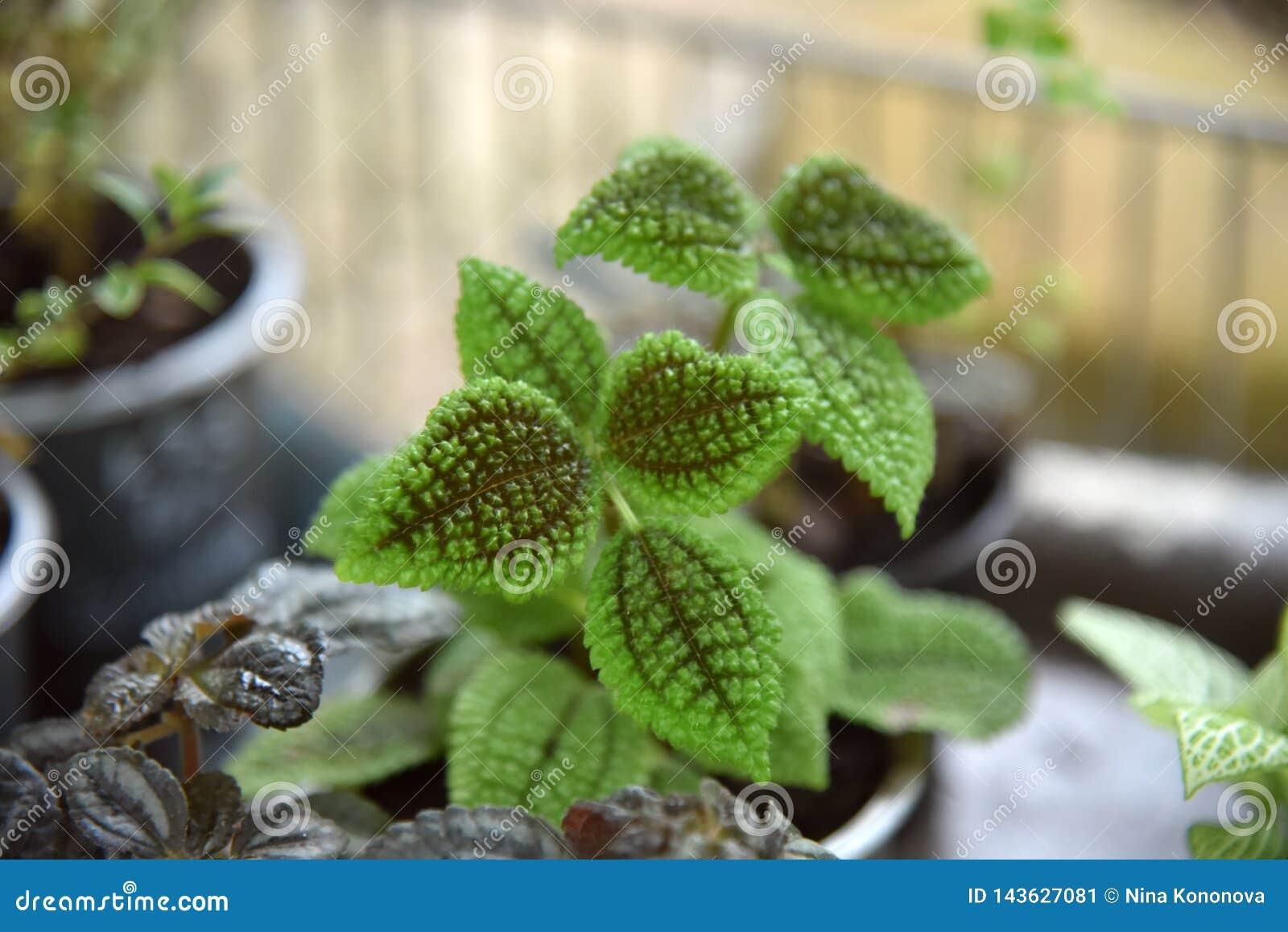 As plantas decorativas da folha listrada fecham-se acima Foto de flores bonitas em uns potenciômetros