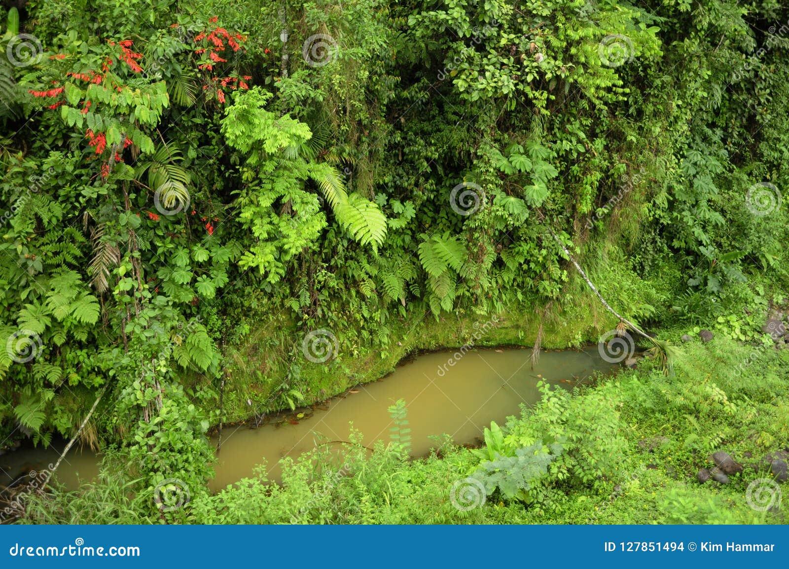 As plantas luxúrias, tropicais cercam uma lagoa pequena da chuva recolhida na reserva biológica do Tirimbina de Costa Rica