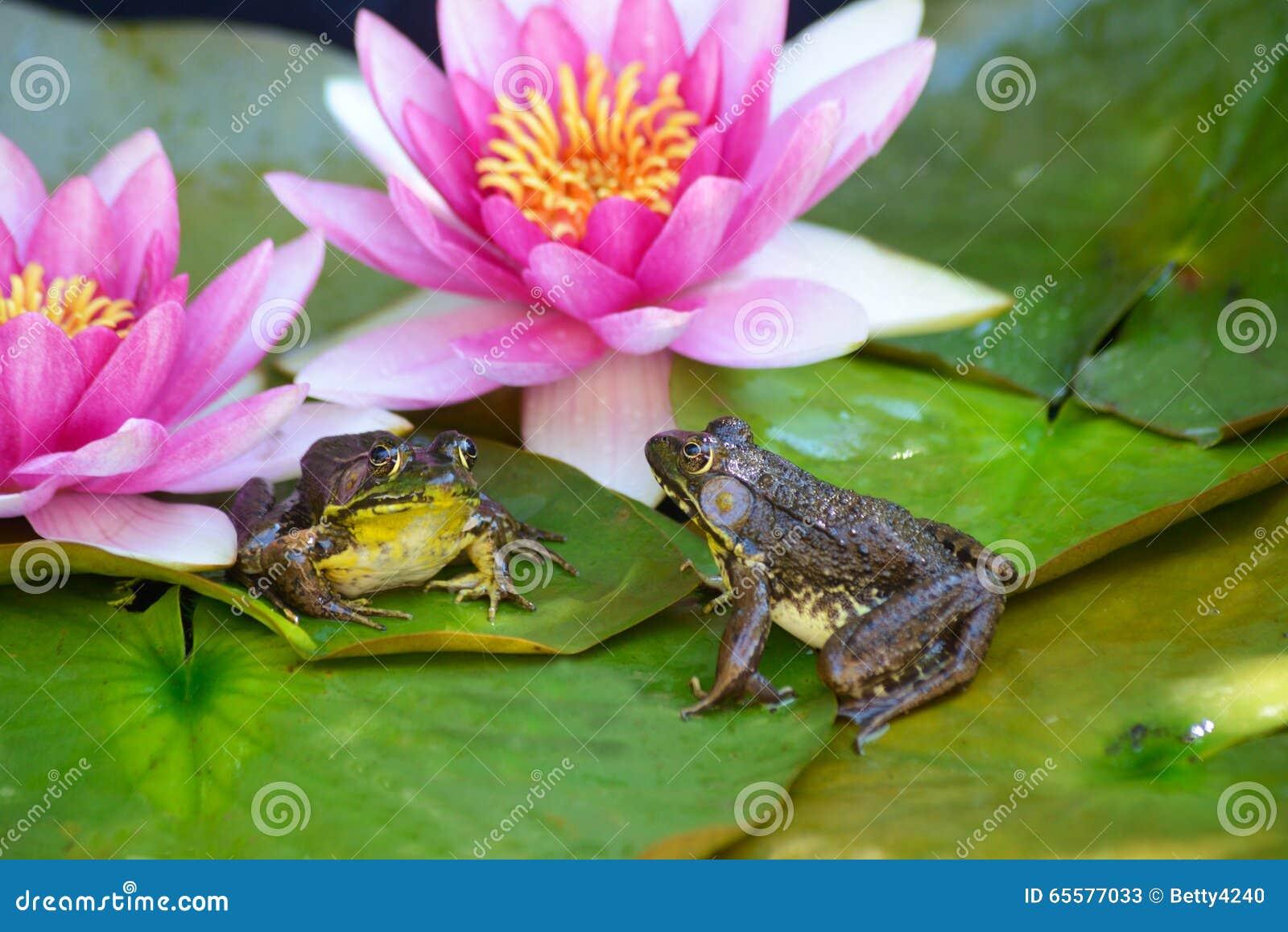 As rãs sentam-se lilly na almofada entre flores