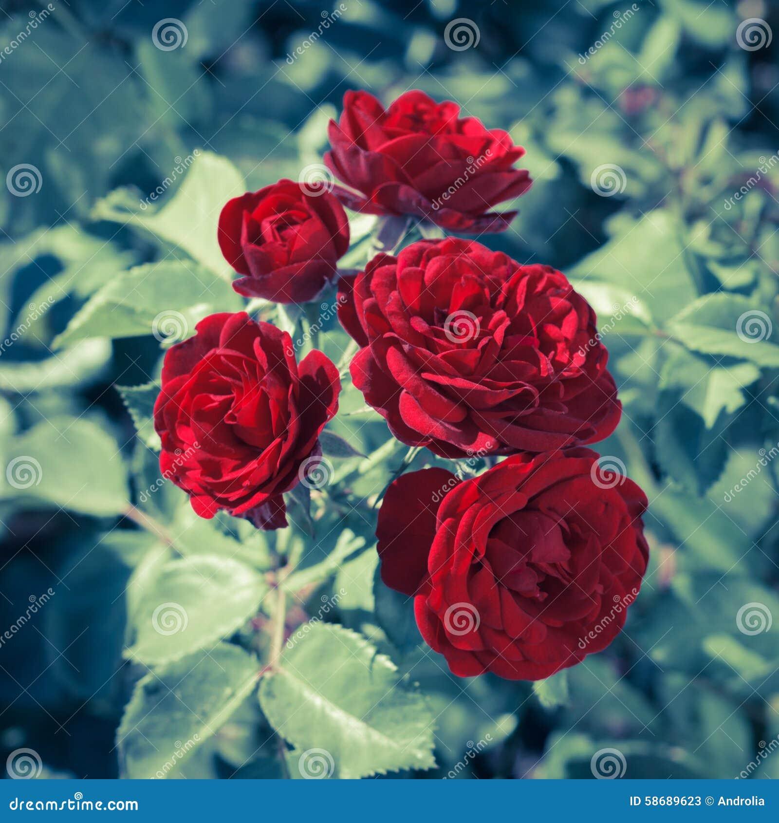 jardim rosas vermelhas:As Rosas Vermelhas Fecham-se Acima Foto de Stock – Imagem: 58689623