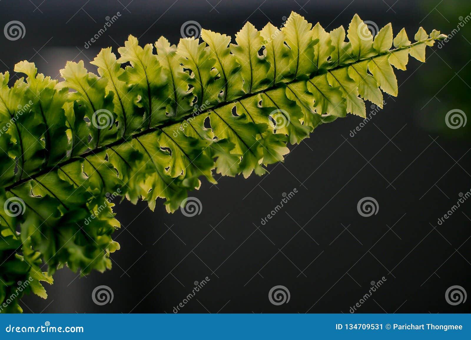 As samambaias bonitas folheiam fim preto escuro do fundo da samambaia floral natural verde da folha acima