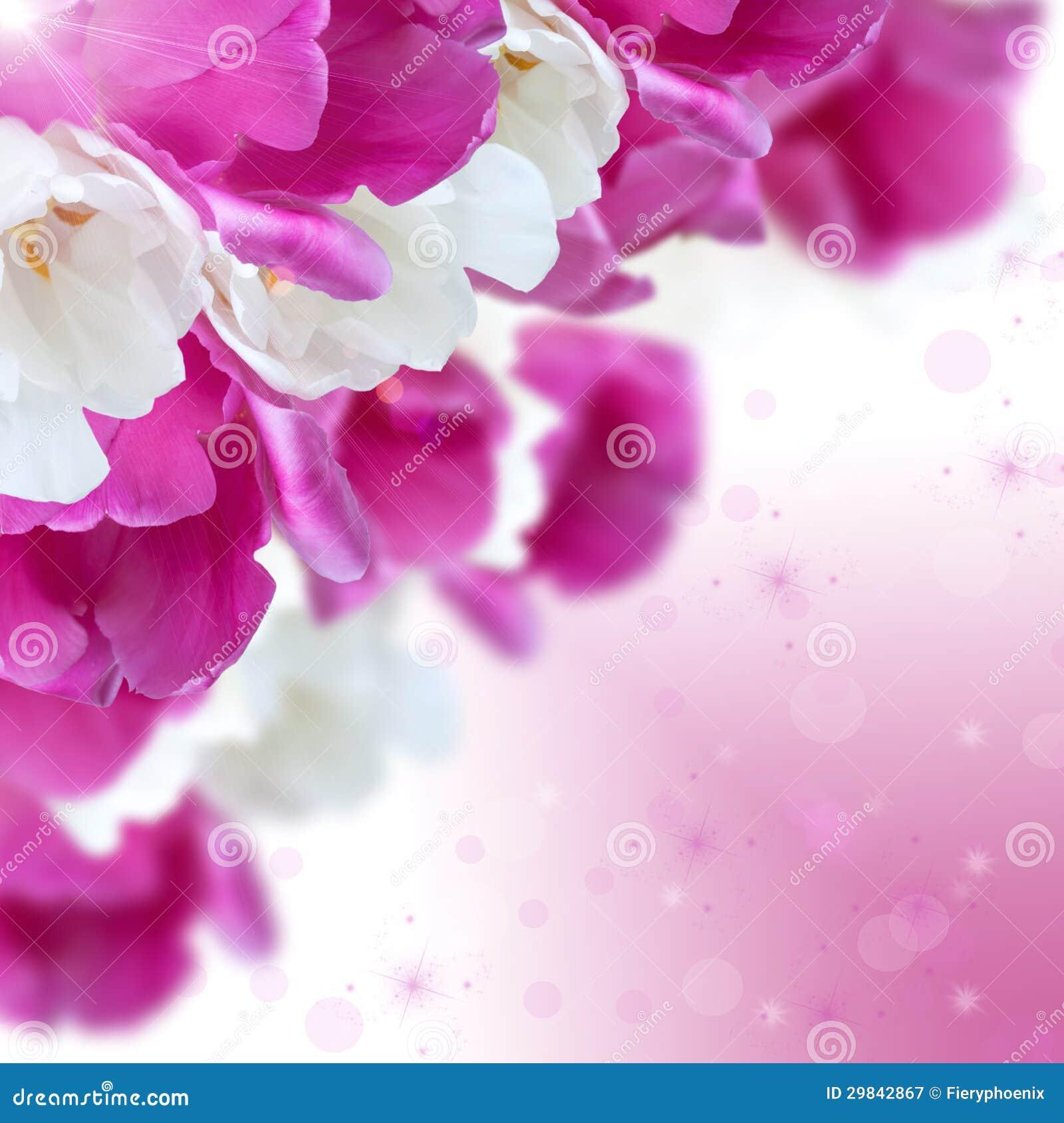 As tulipas brancas e roxas florescem com bokeh bonito, ima quadrado