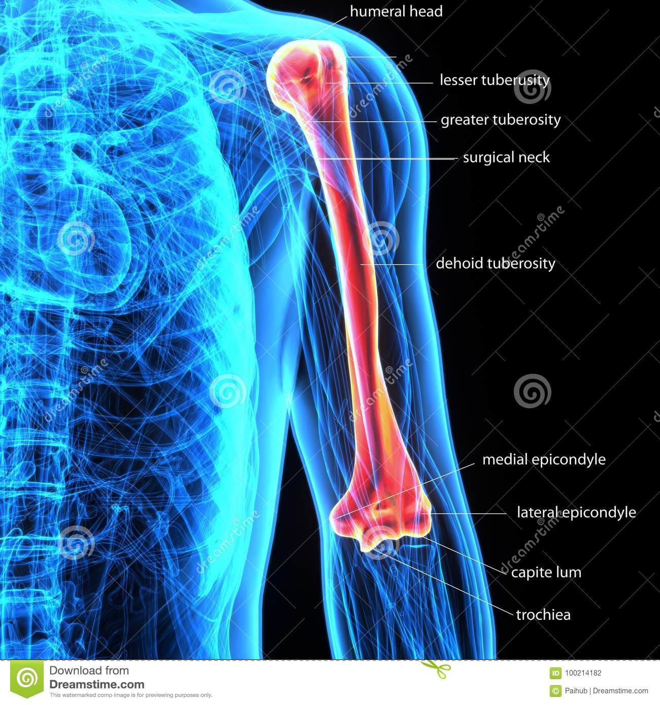 3d Illustration Of Human Body Bone Joint Pains Anatomy Humerus Stock