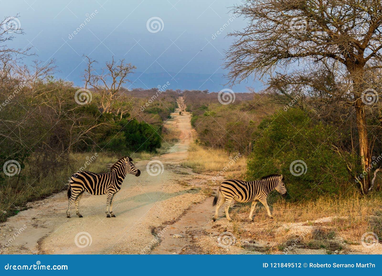 As zebras estão cruzando um trajeto na reserva natural de Kruger em um safari em África em outubro de 2017