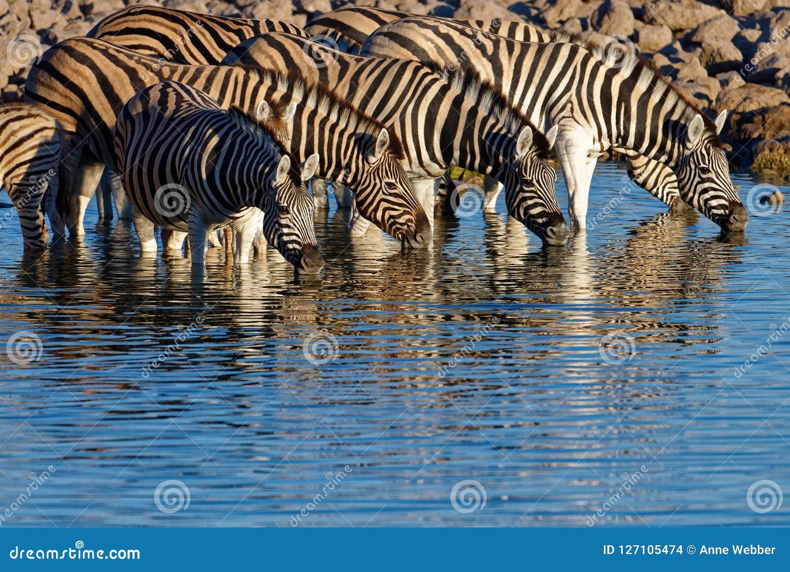 As zebras estão em beber claro da manhã no waterhole