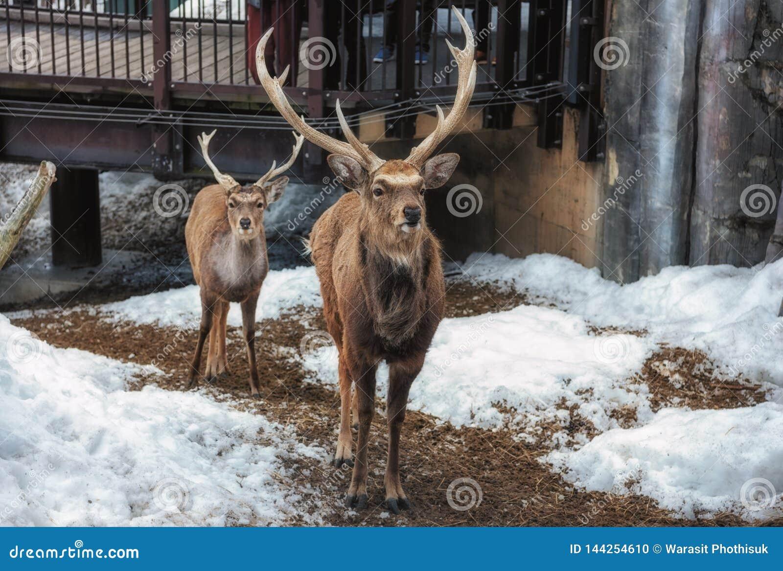 Asahikawa, Хоккаидо, Япония 13-ОЕ МАРТА 2019: Олени Sika в зоопарке Asahiyama