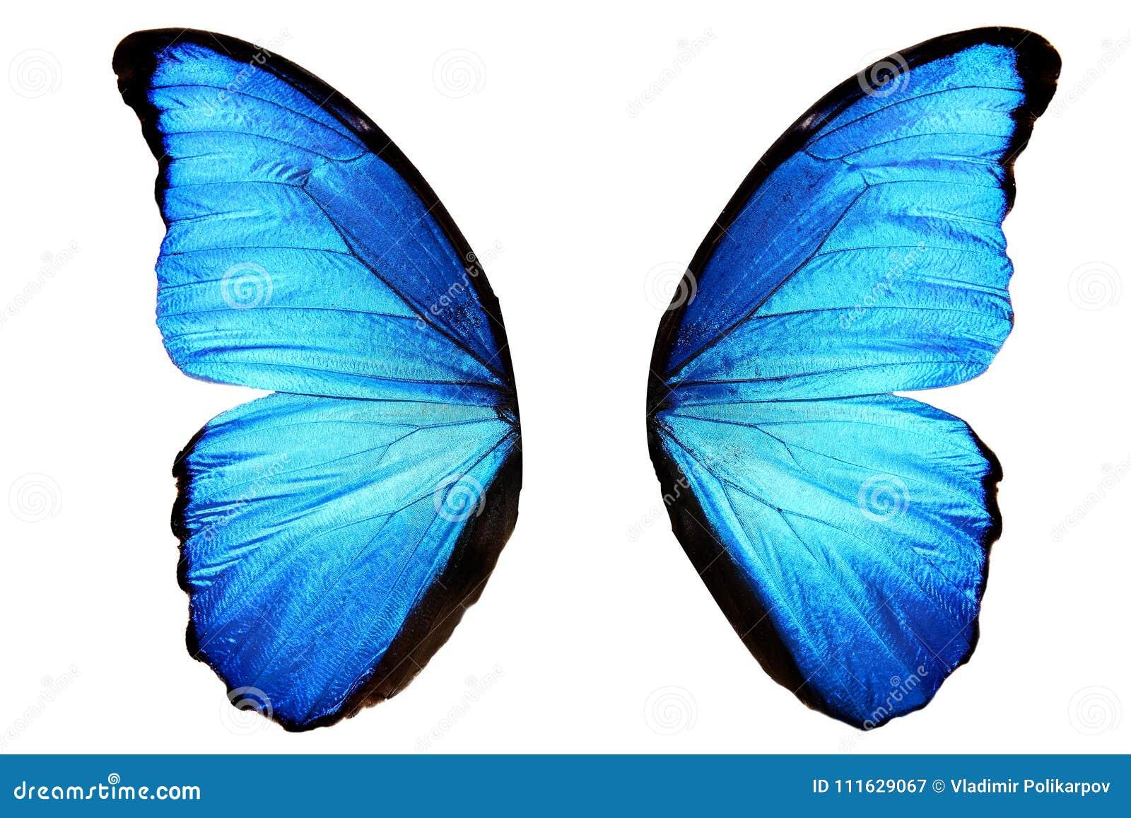Asas azuis da borboleta com pontos pretos Isolado no fundo branco