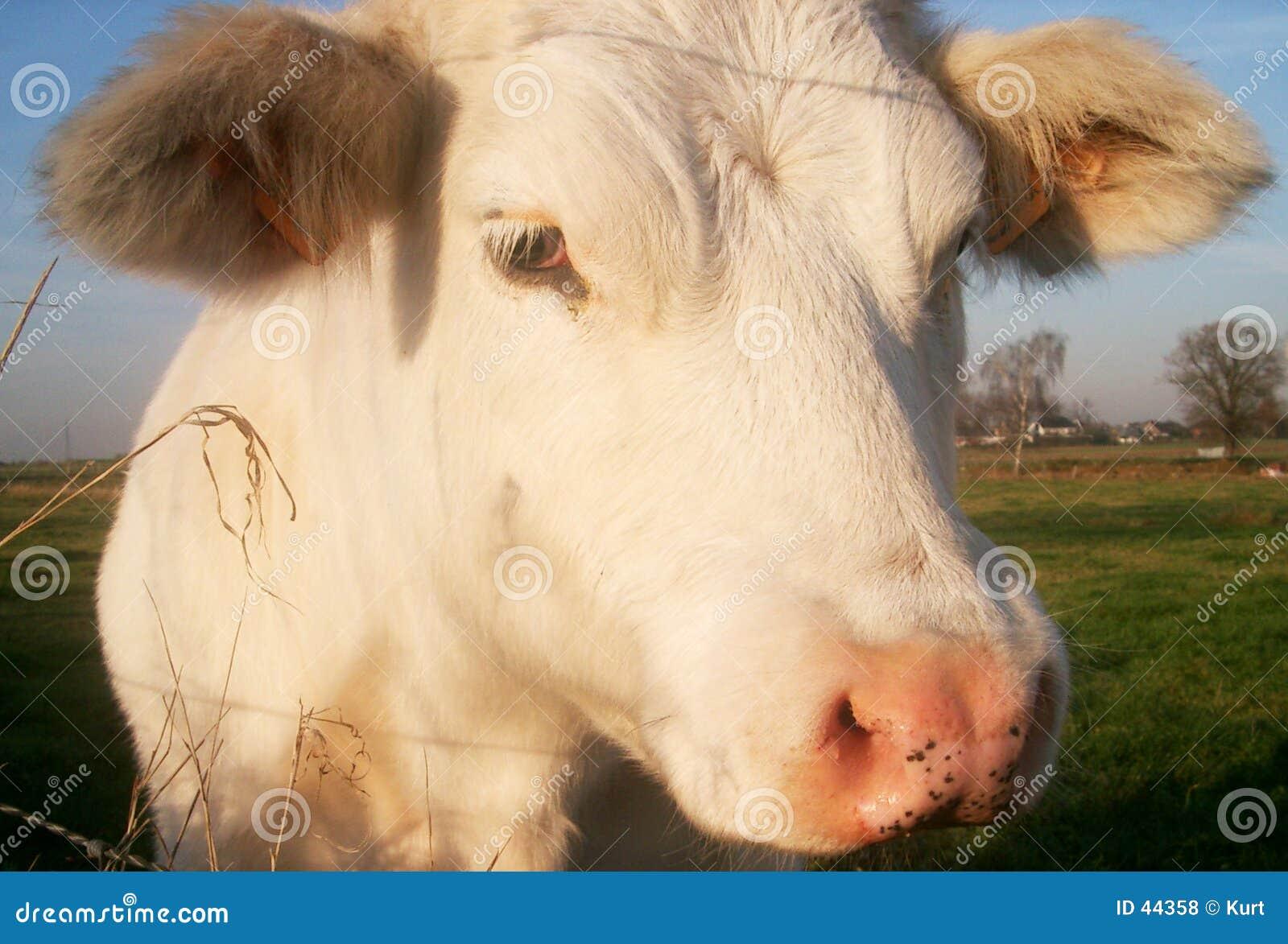 Download Ascendente Cercano De La Vaca Foto de archivo - Imagen de blanco, granja: 44358