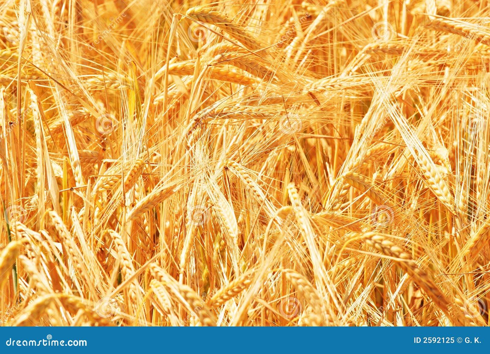 Ascendente cercano del trigo