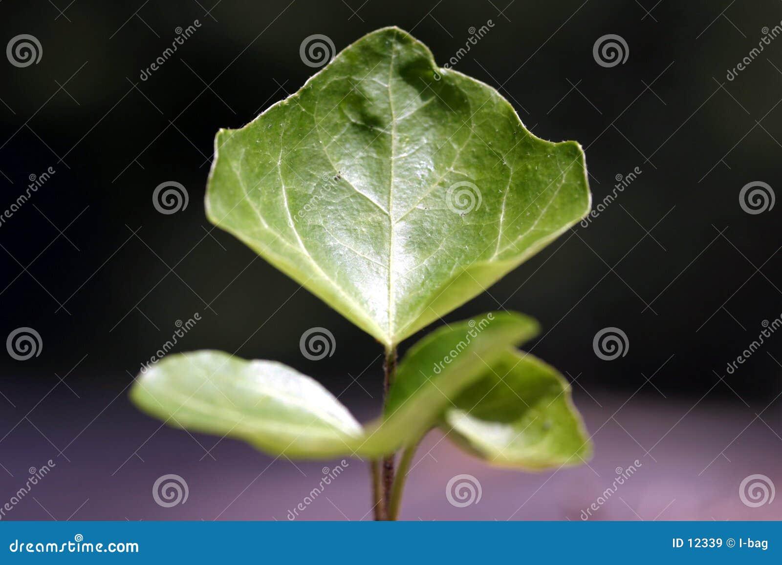 Ascendente próximo da folha