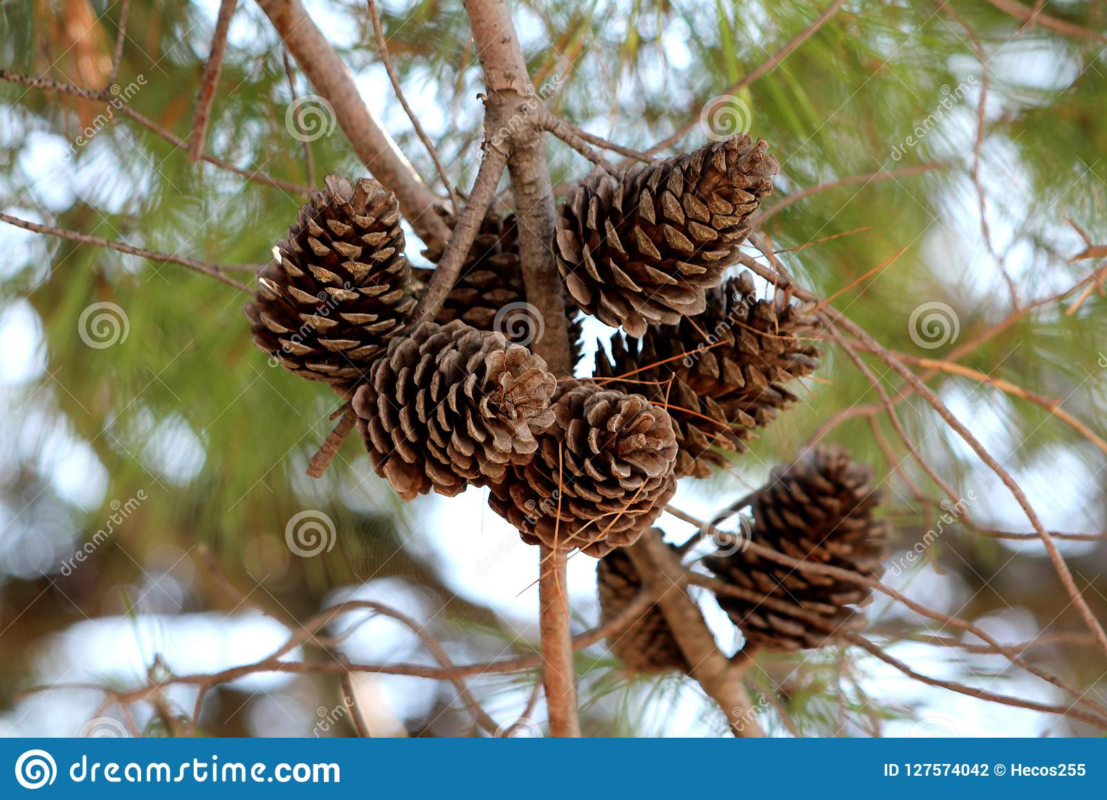 Asciughi i coni marroni completamente aperti della conifera o delle pigne sui rami multipli