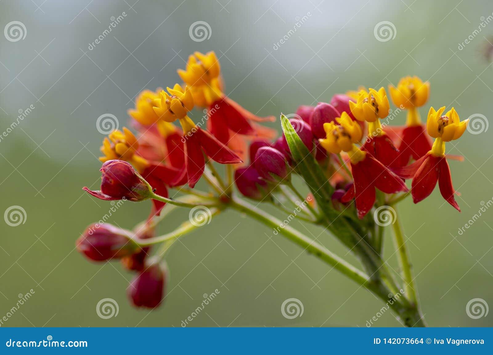 Asclepias curassavica tropikalni piękni kwiaty w kwiacie, czerwona pomarańczowego koloru żółtego kwiatonośna roślina