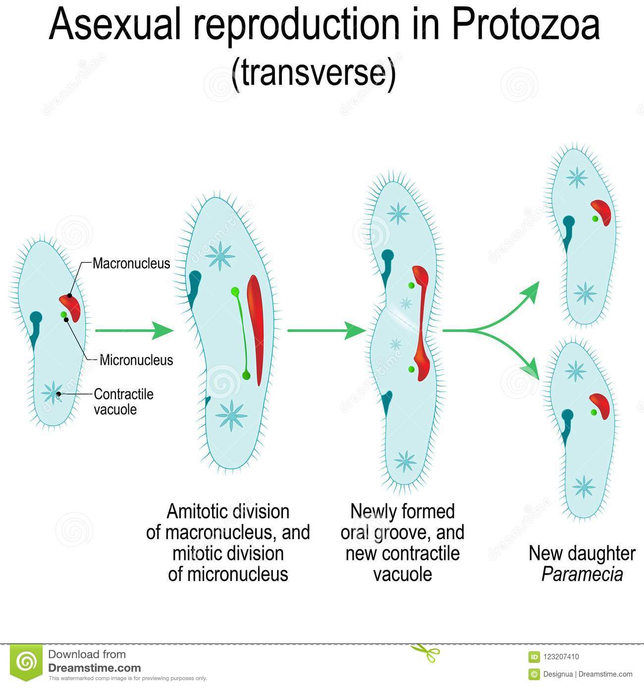 Paramecium type of asexual reproduction in plants