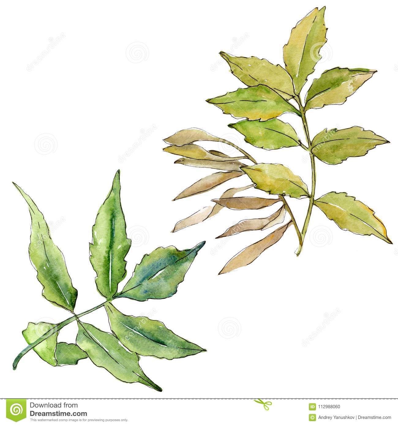 Ash leaves in a watercolor style isolated.