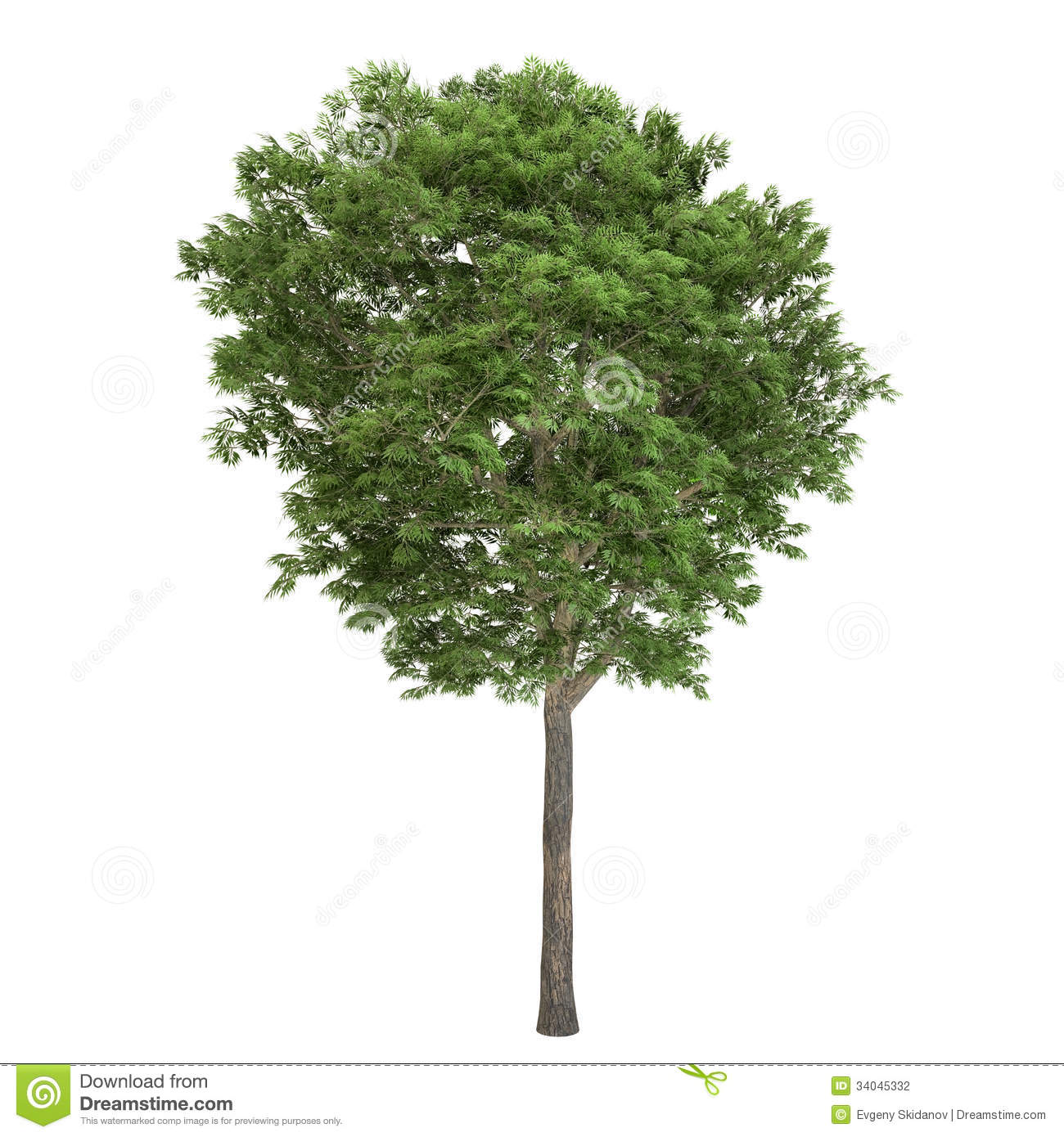 Ash Tree Isolated