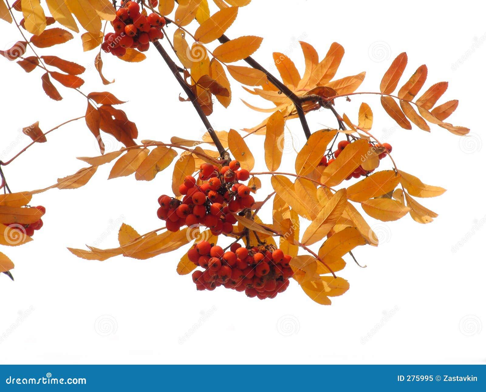 Ashberry de herfst