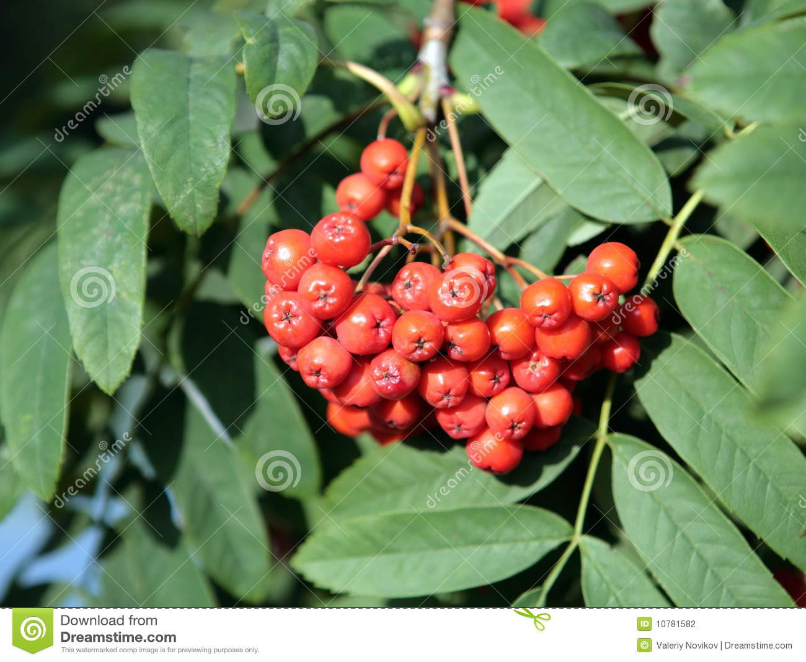 Ashberry met doorbladert