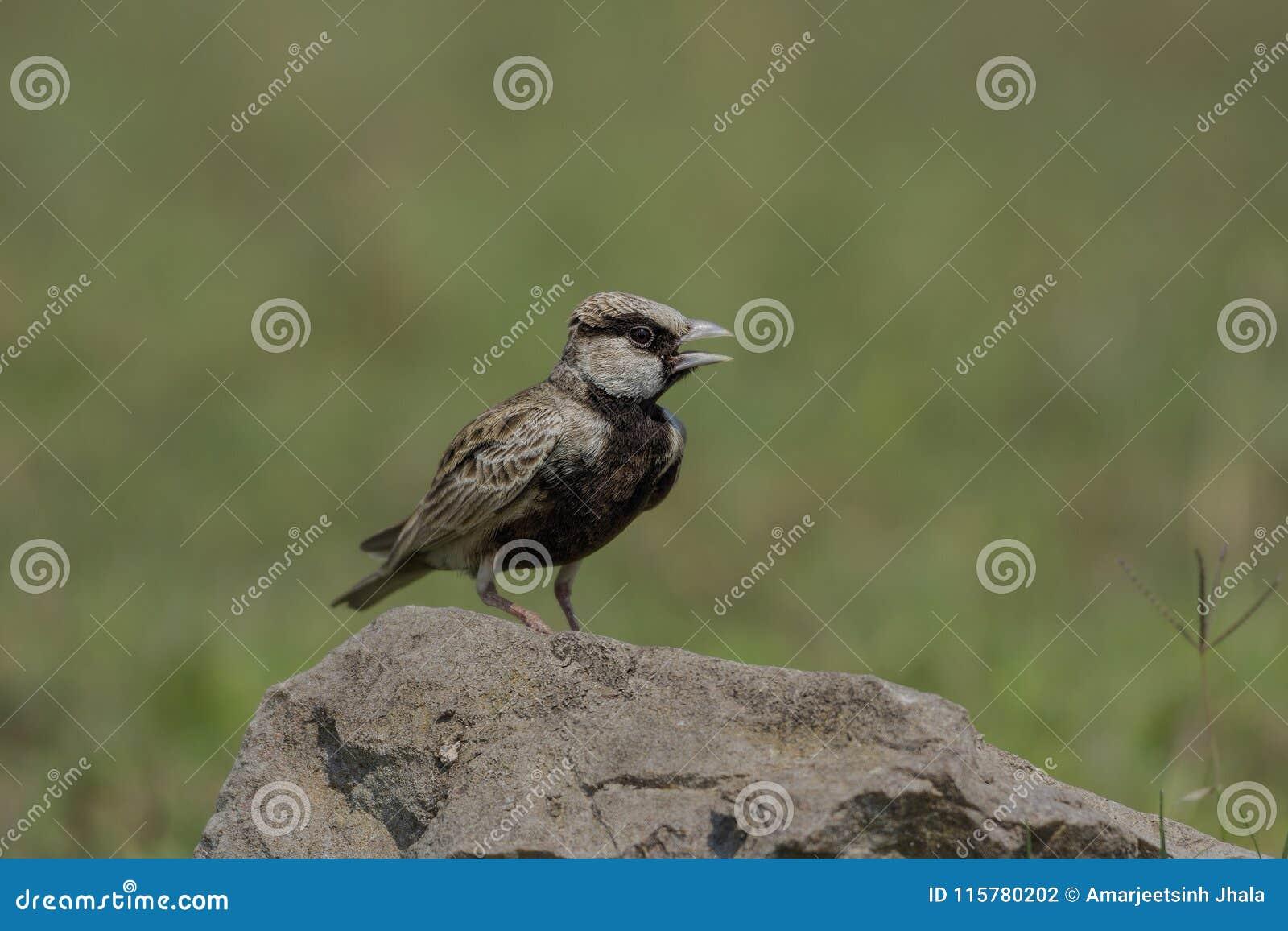 Ashy koronowany wróbli żartu Eremopterix griseus umieszczał na skale