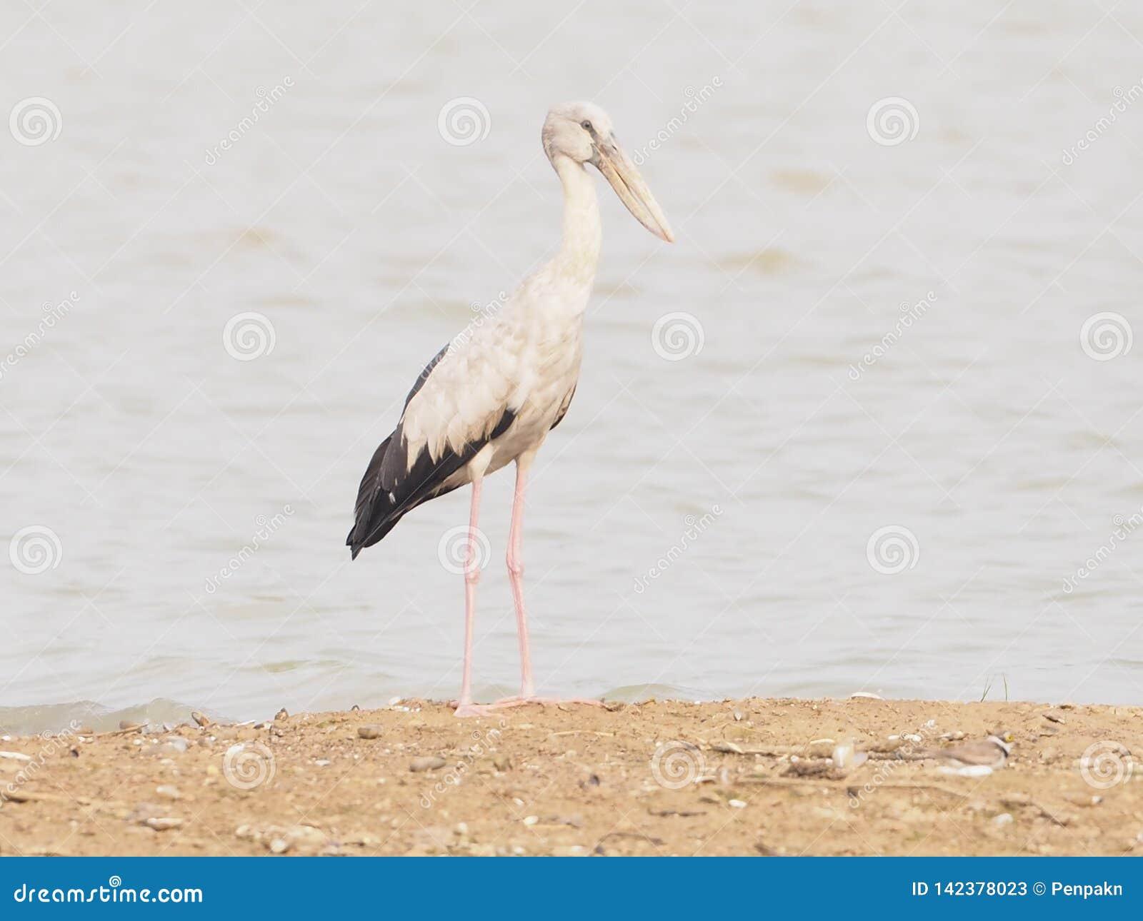 Asiático Openbill do nome do pássaro stan na areia na lagoa