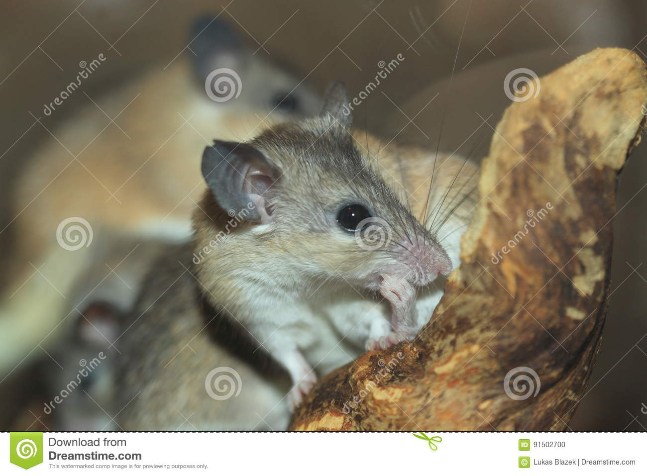 Asia minor spiny mouse