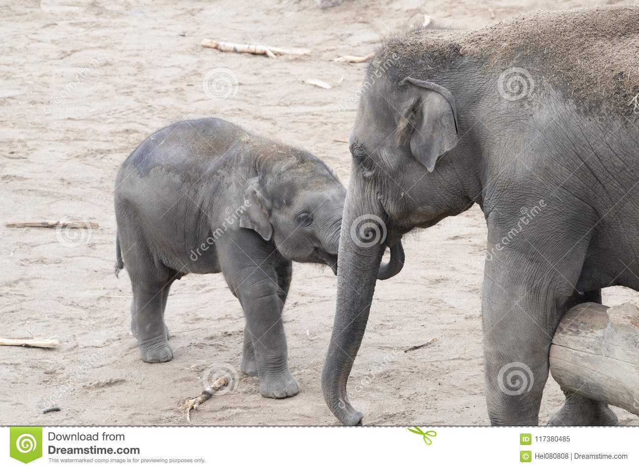 Asian Elephants Baby And Sibling Tender Together Stock Image