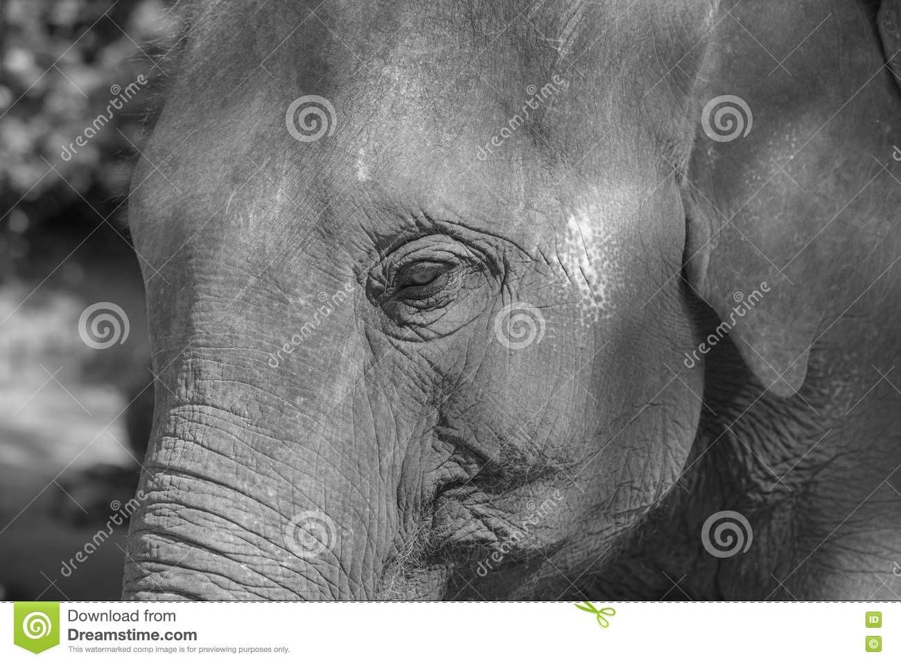 Asian elephant face close up in black and white