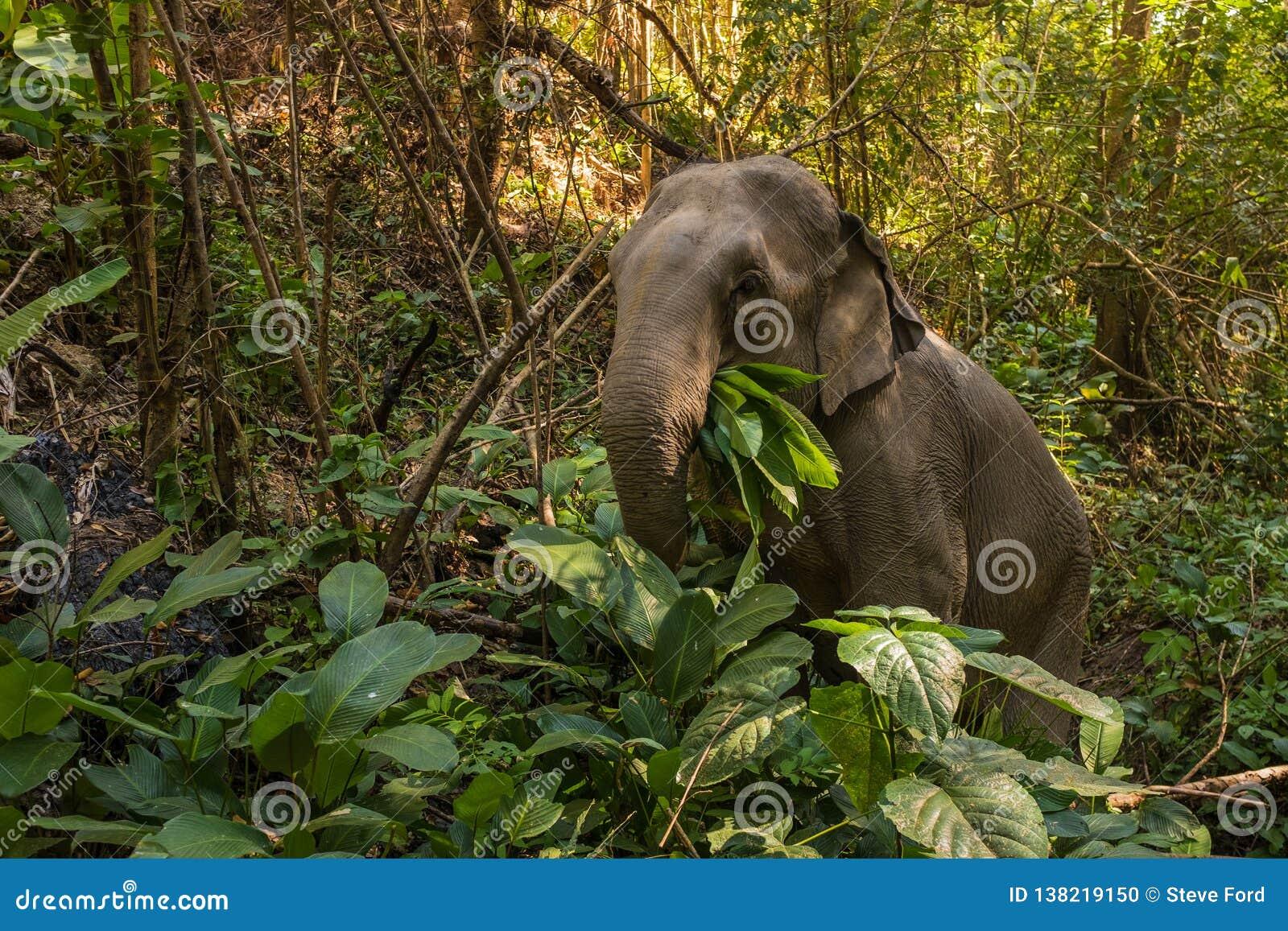 An eating asian elephant