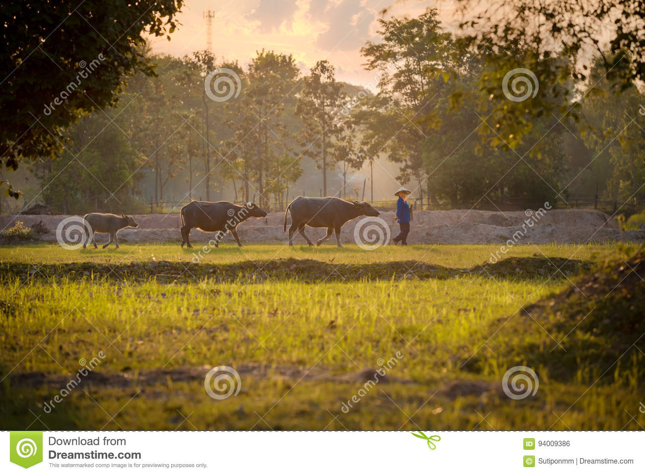 b556c43ae49 Asian Farmer and Buffalo are walking on the field come back to home.  Lifestyle it farmer in Southeast Asia Thailand Vietnam Laos Cambodia  Myanmar Indonesia ...
