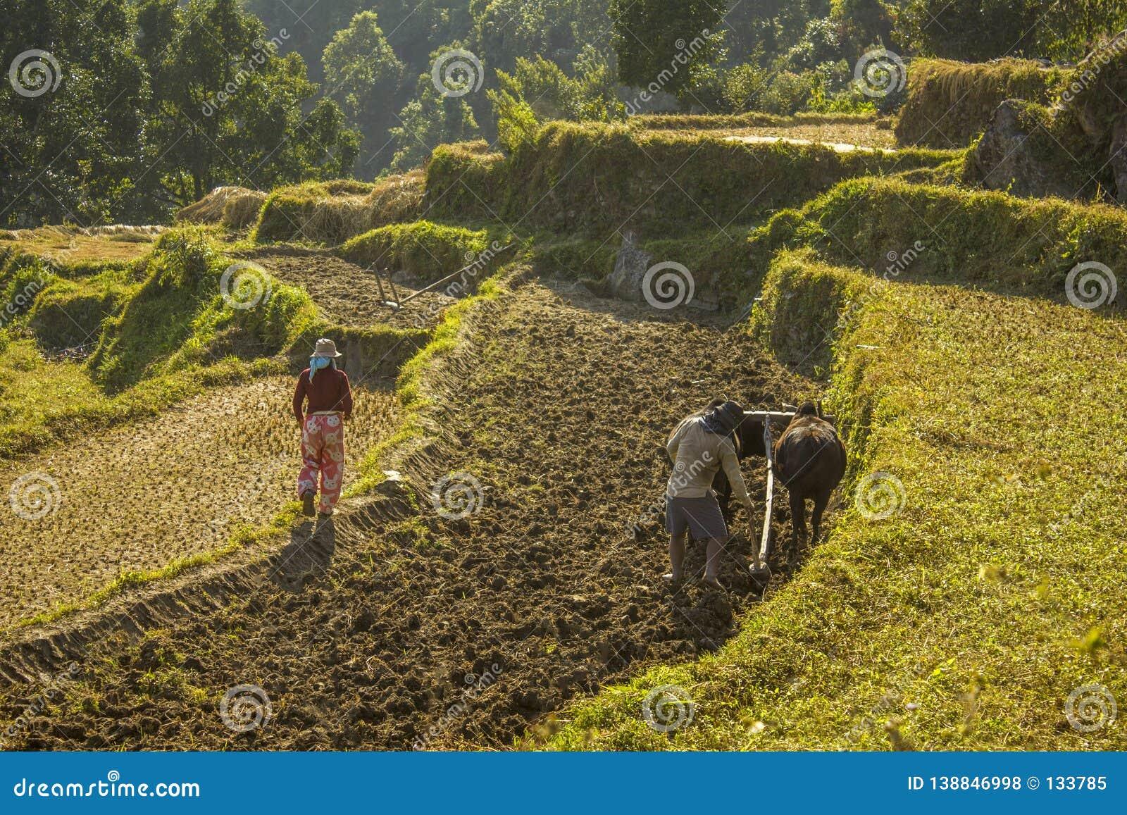 Asian farmer plows rice field with buffaloes