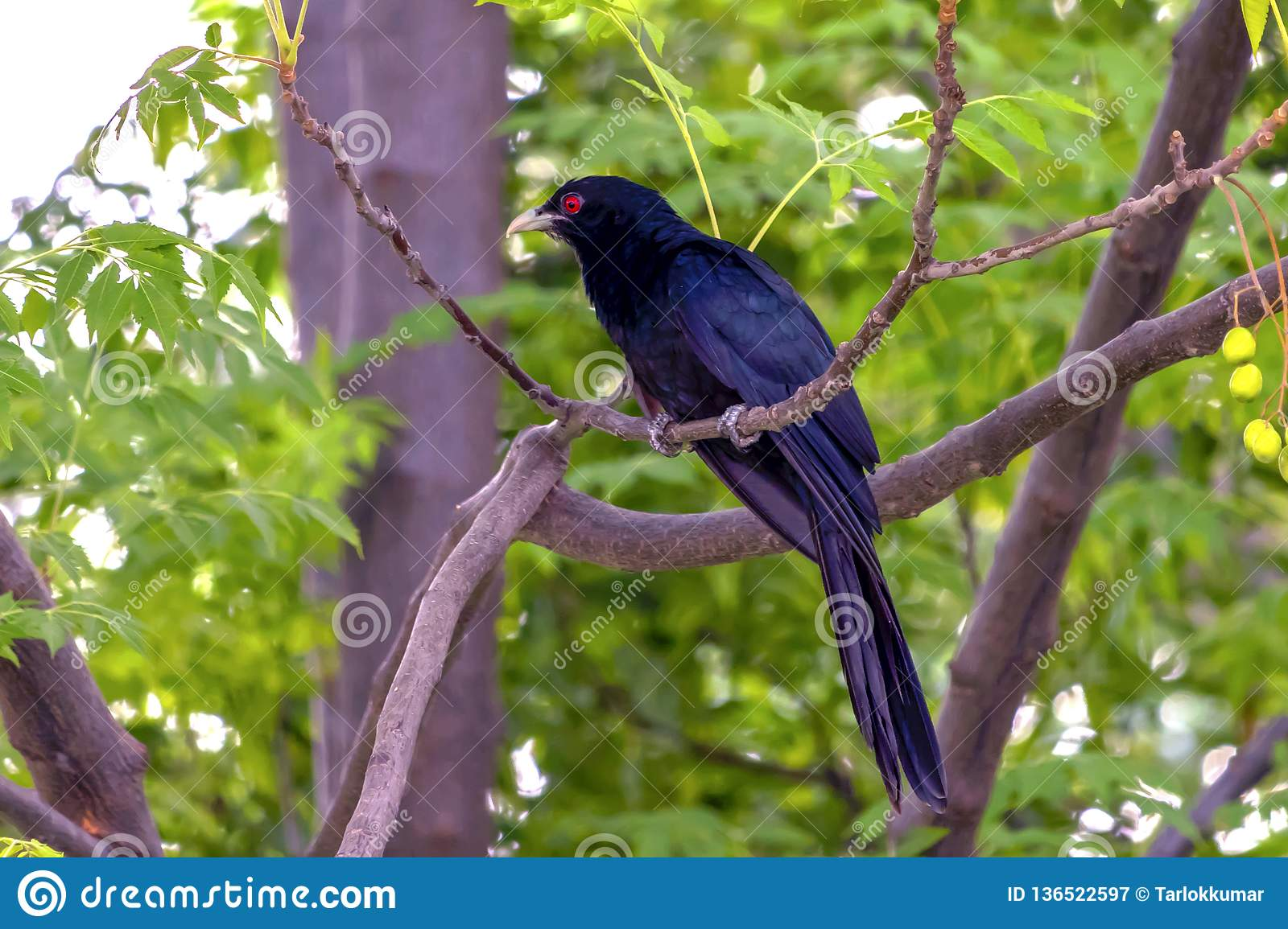 The Asian Koel sitting on a tree branch.