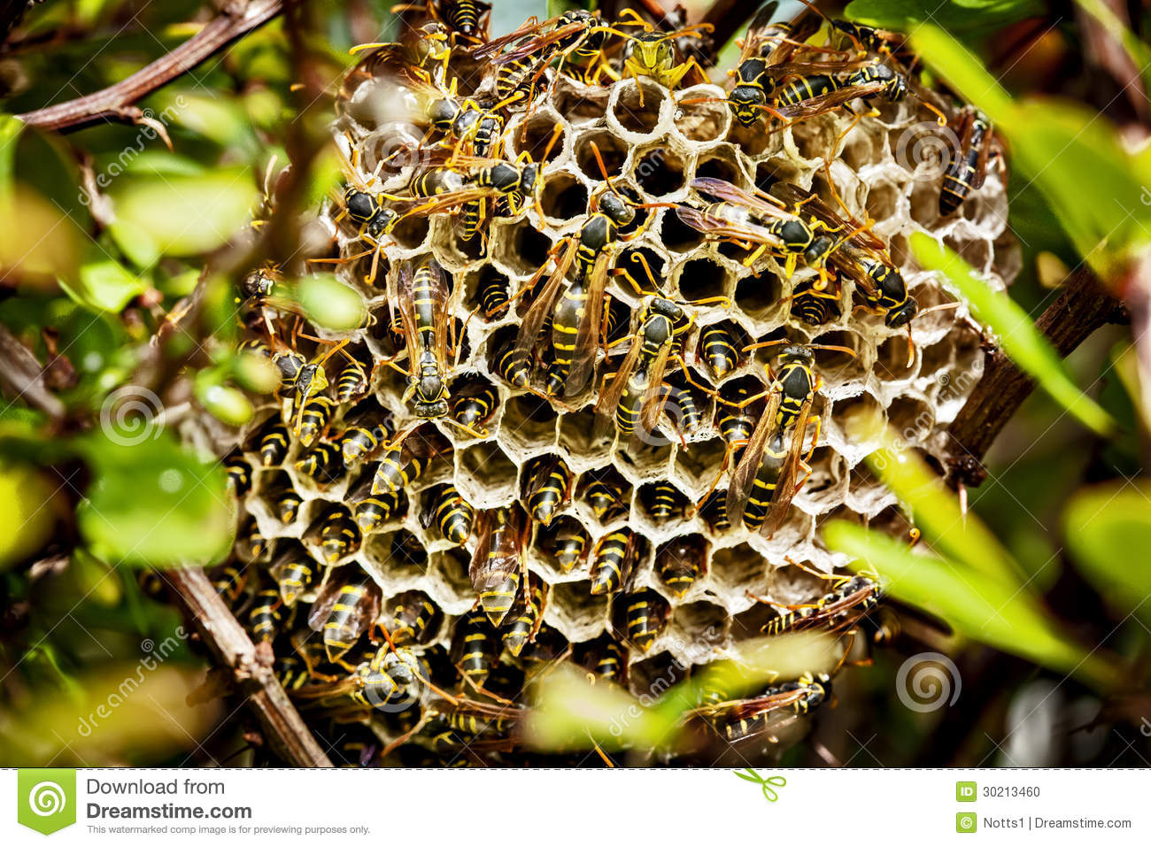 Asian Paper Wasp Nest