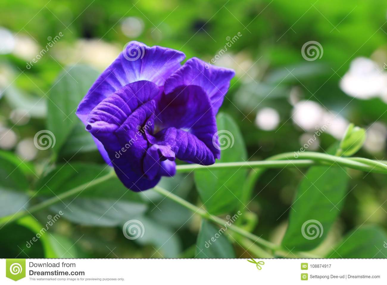 Butterfly pea vine plant with blue or purple flower on plant stock download butterfly pea vine plant with blue or purple flower on plant stock image image mightylinksfo