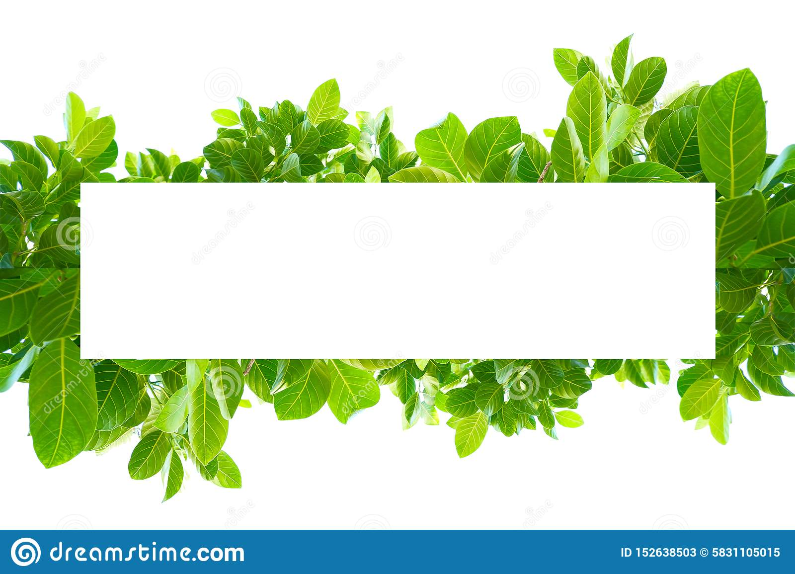 Asian tropical green leaves that isolated on a white background