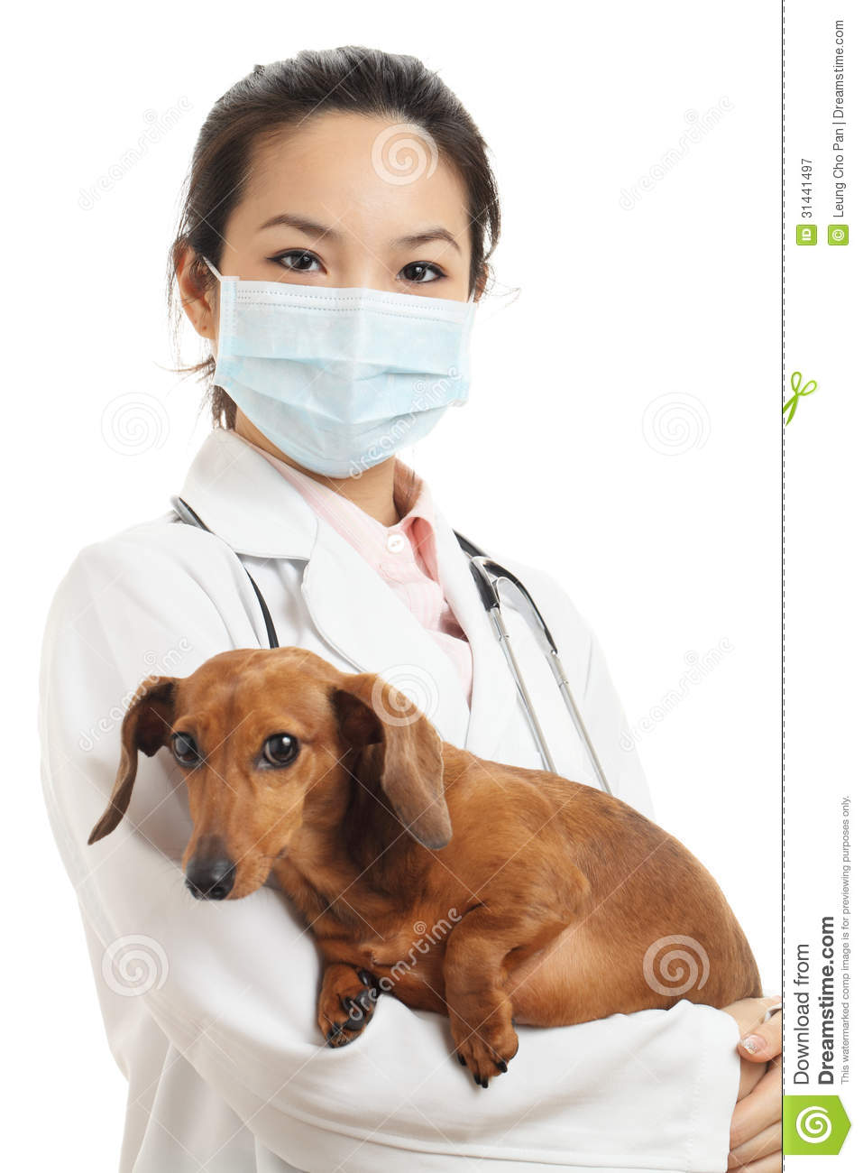 asian veterinarian with dachshund dog royalty free stock