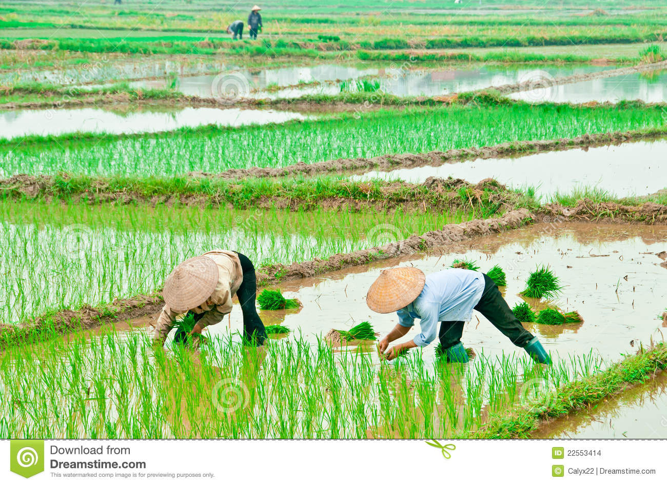 Asian Women In Rice Fields Stock Images - Image: 22553414