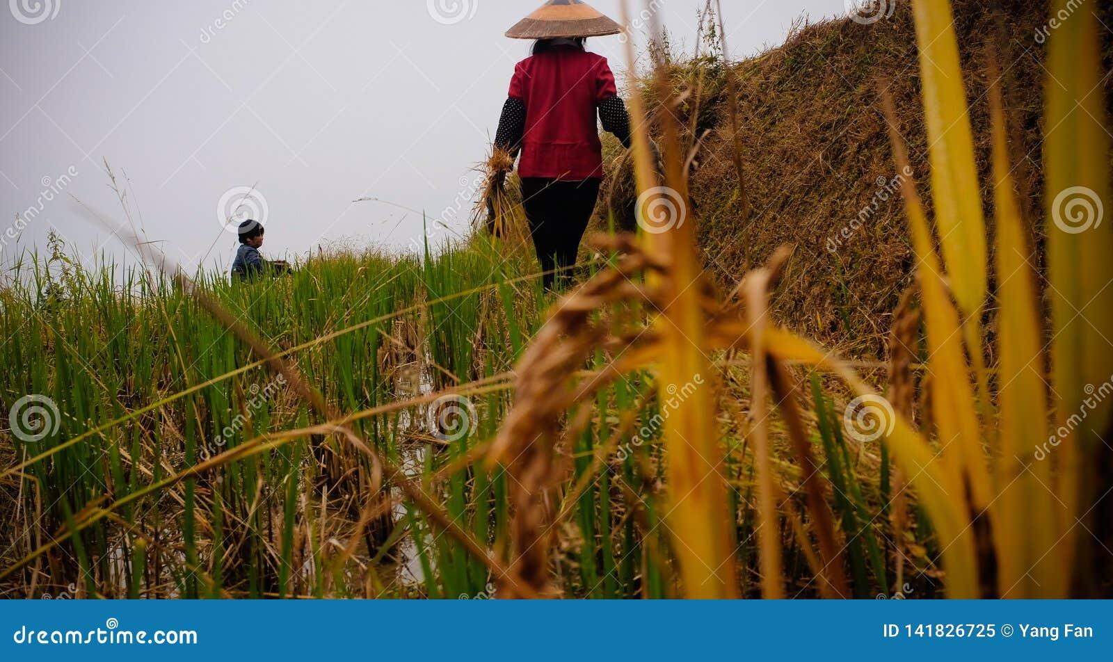 Asian women in rice fields