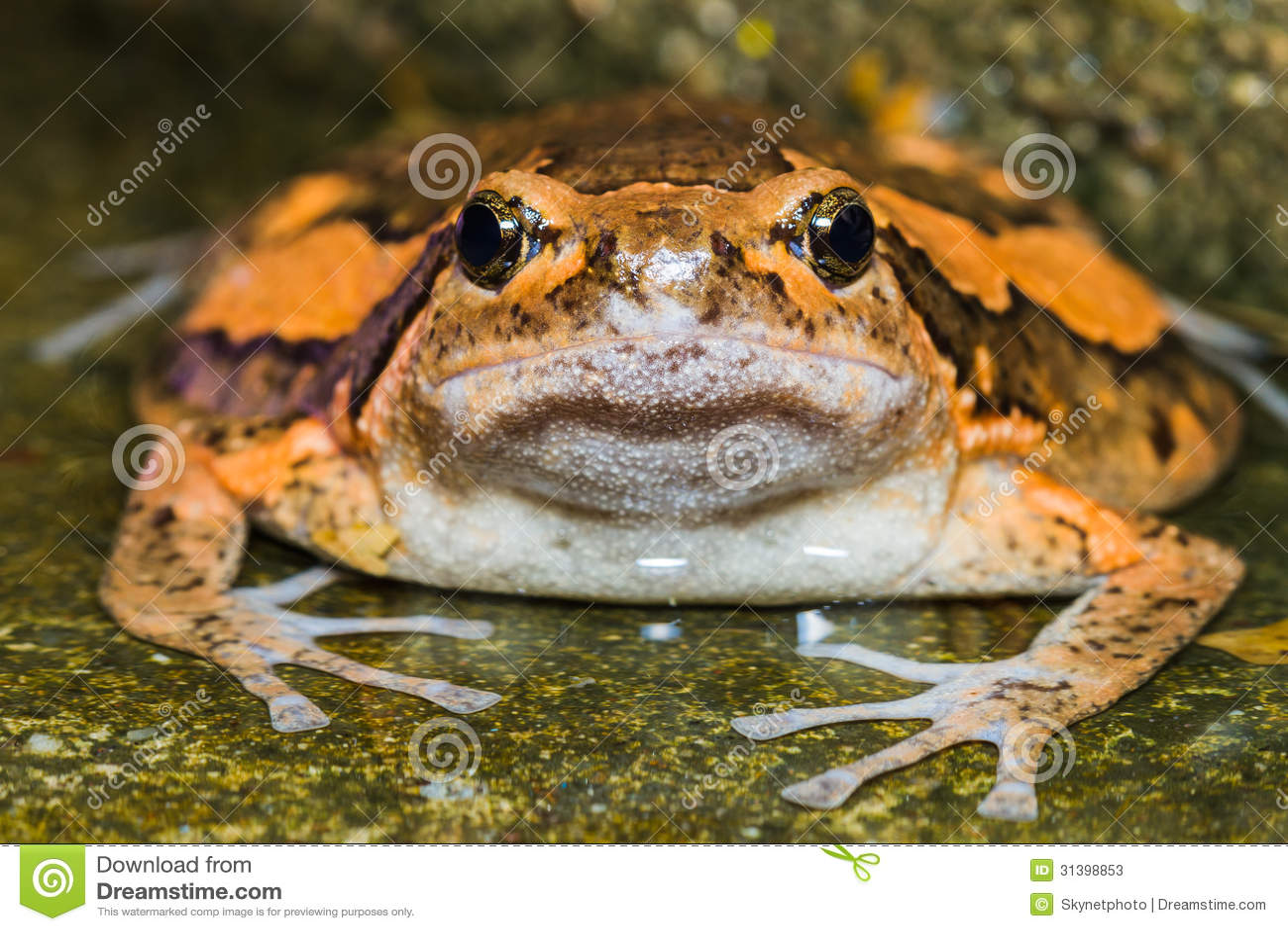 Asiatischer Gemalter Frosch Stockbild - Bild: 27517135