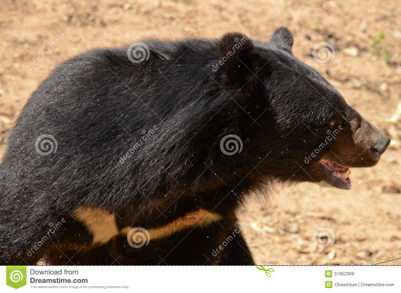 asiatic black bear stock image image of mountains wilderness