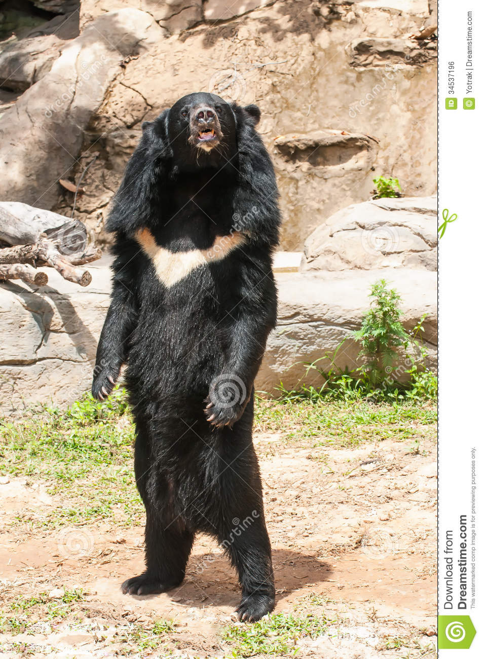 Asiatic black bear royalty free stock image image 34537196