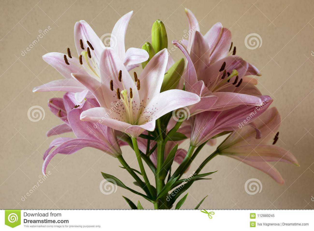 Asiatic hybrids lilium in bloom light pink flower heads stock image asiatic hybrids lilium in bloom light pink flower heads izmirmasajfo