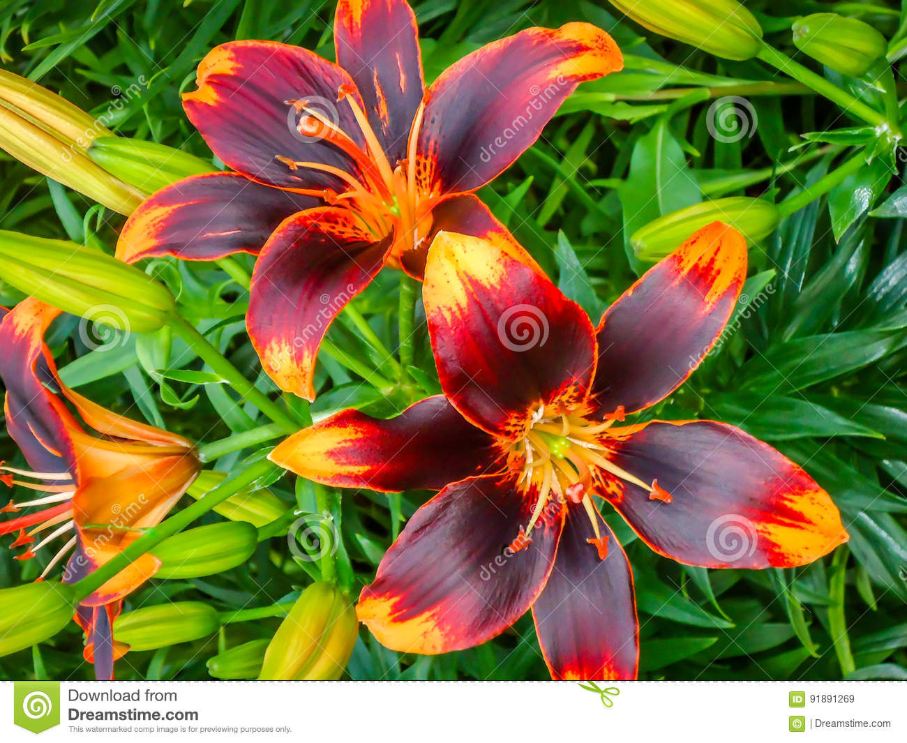 Asiatic Lily Garden Stock Image Image Of Buds Bloom 91891269