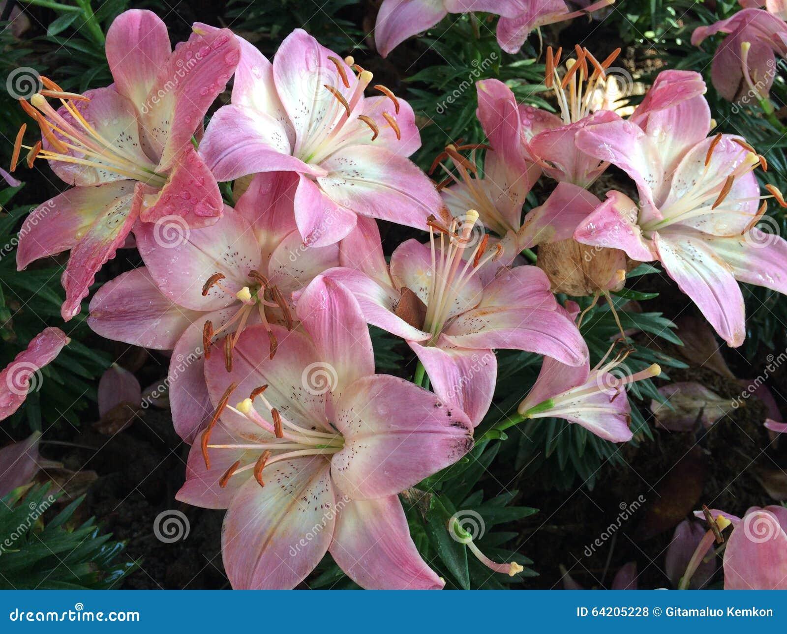 Backyard Flower Farmer : Asiatic Lily in Flower garden Farm from Chiangrai Thailand
