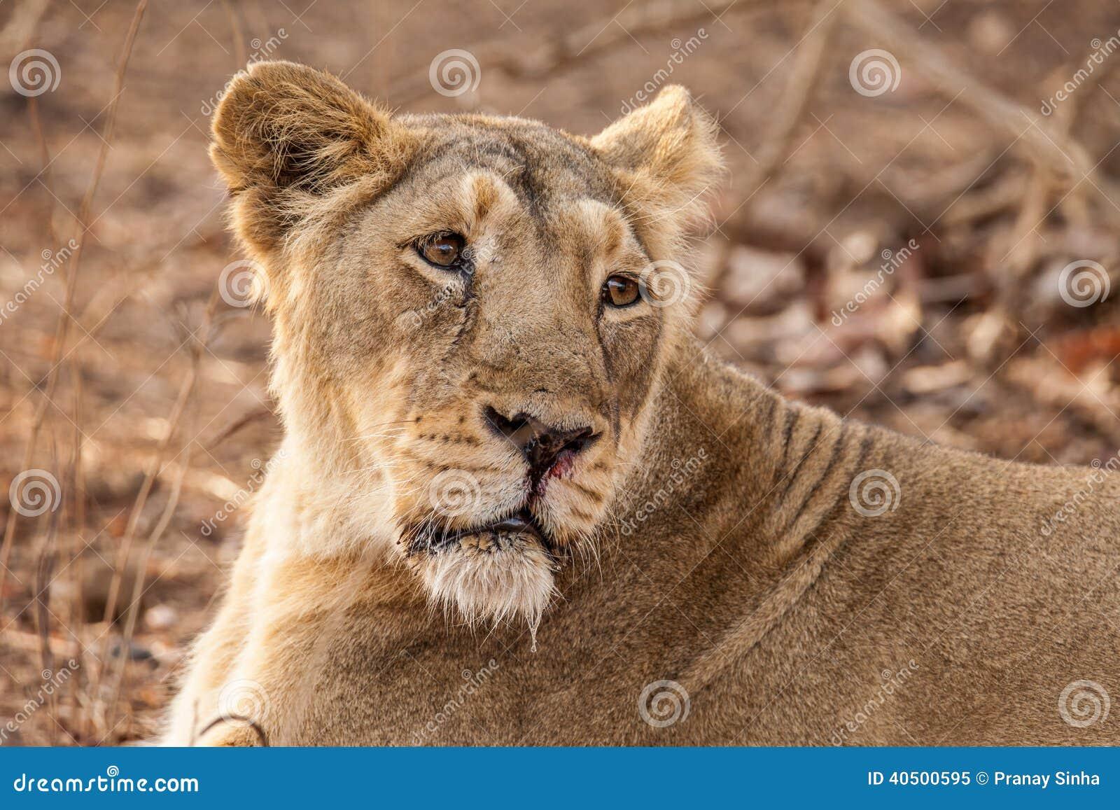 Scientific Name Of Lion