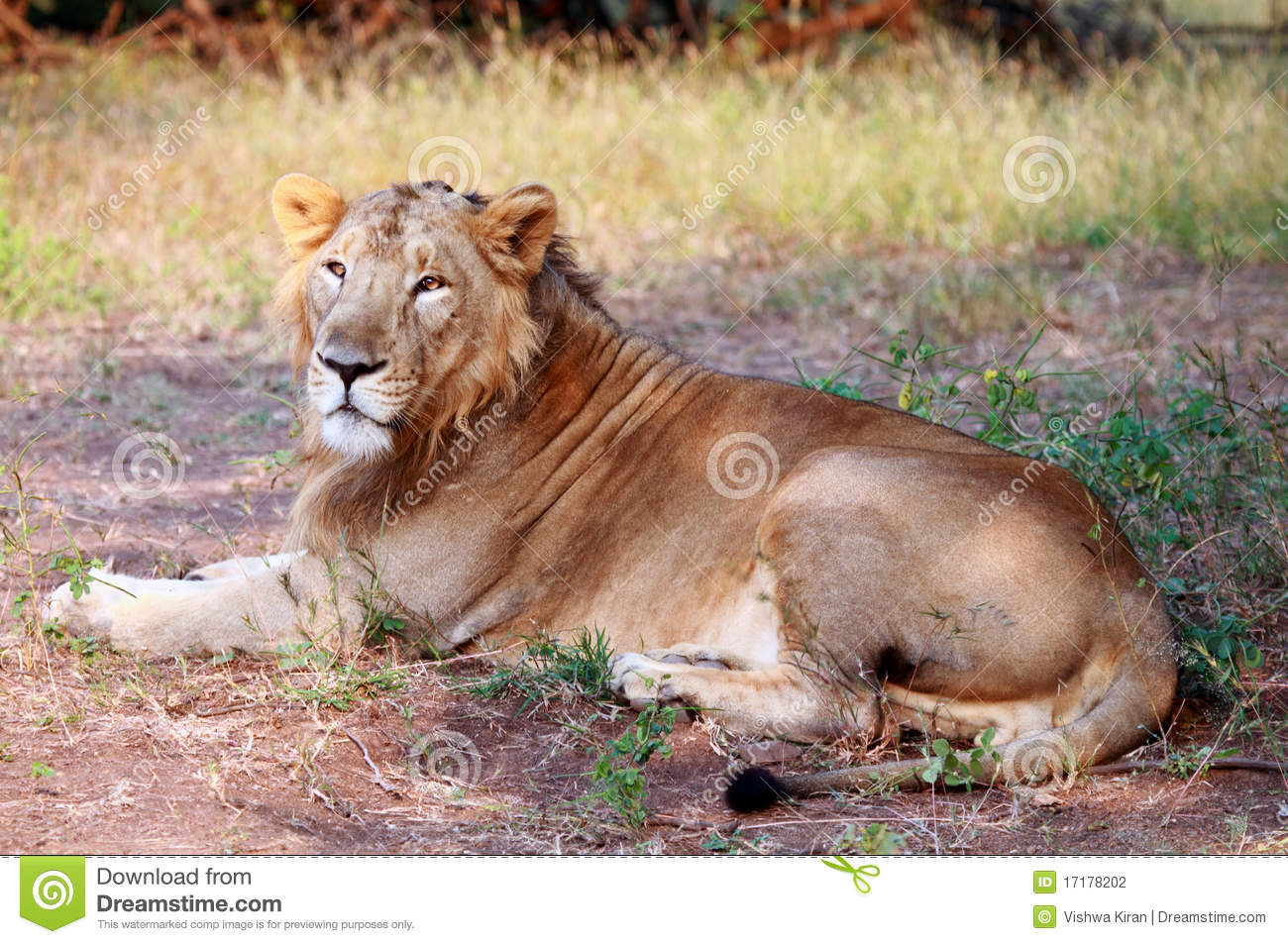 An asiatic lion sitting in the shade at the gir forest taken during a