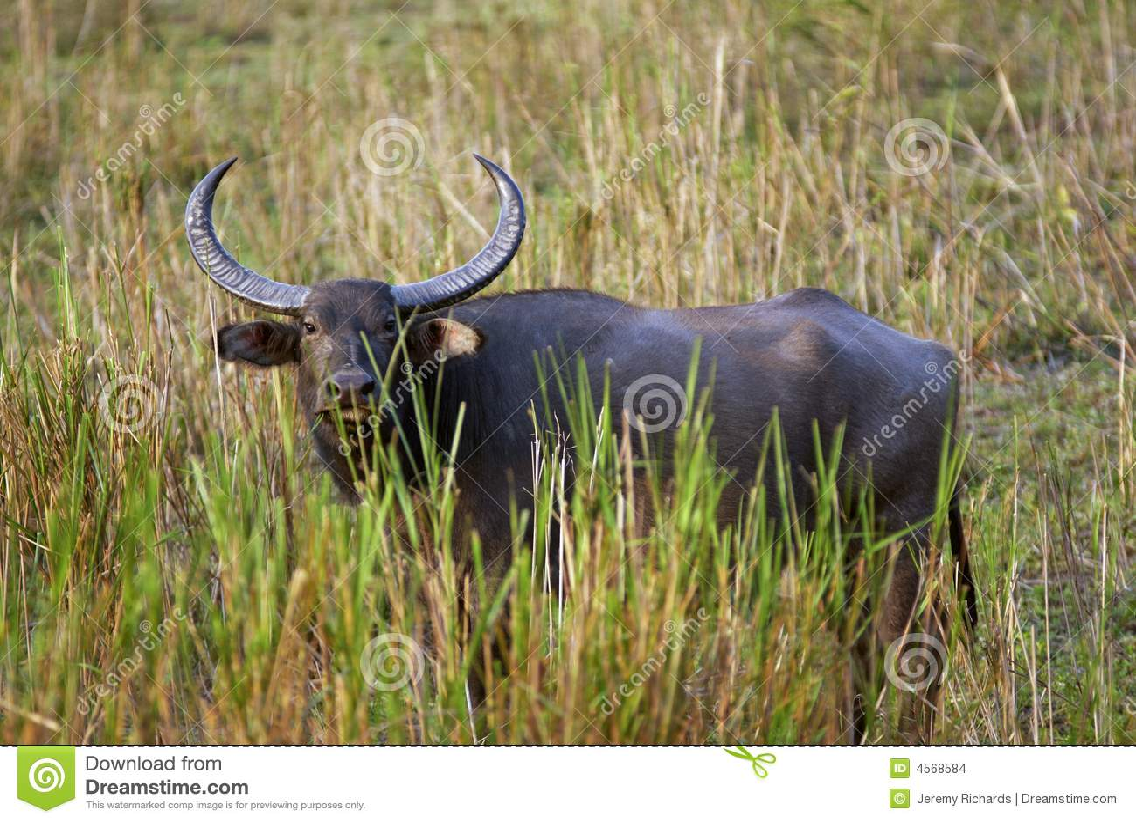 Asiatic wild buffelmanlig
