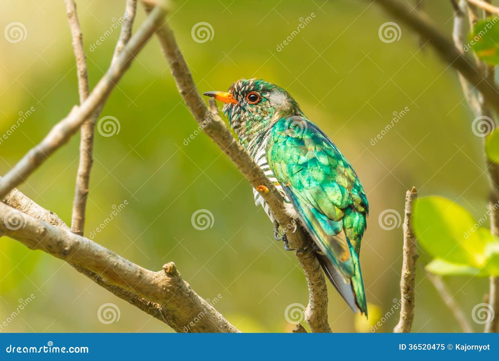 Asiatique masculin Emerald Cuckoo