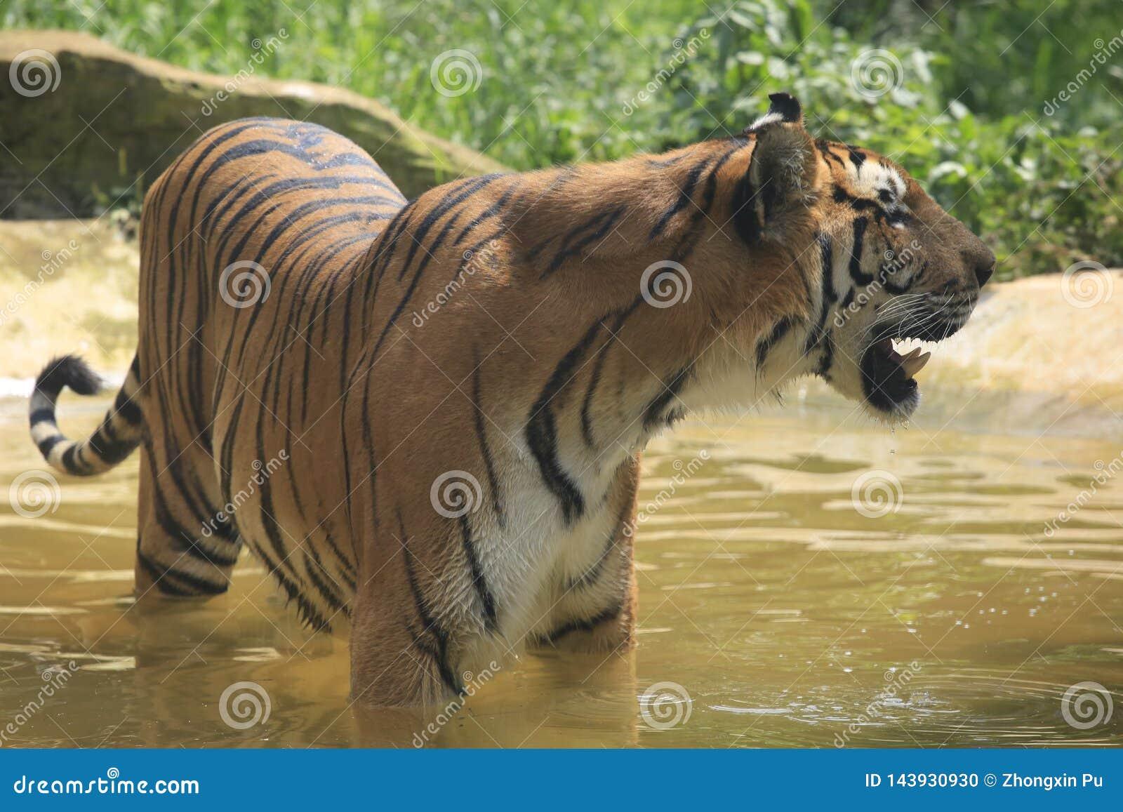 Asiatische Tiger unterscheiden sich in ihren Wohnbereichen