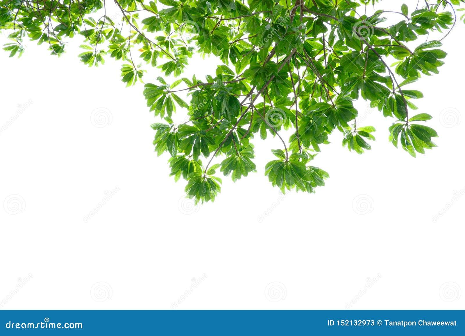 Asiatische tropische grüne Blätter, die auf einem weißen Hintergrund lokalisierten