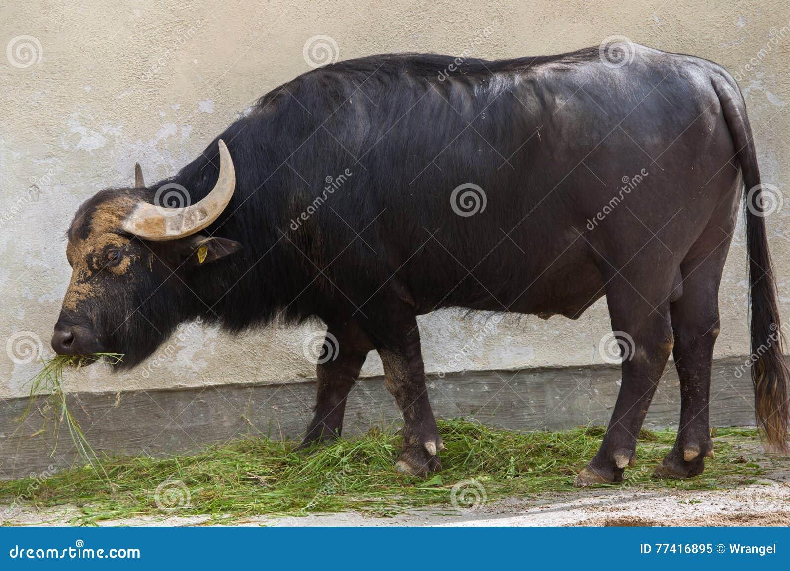 Asiatischer Wasserbüffel u. x28; Bubalus bubalis& x29;