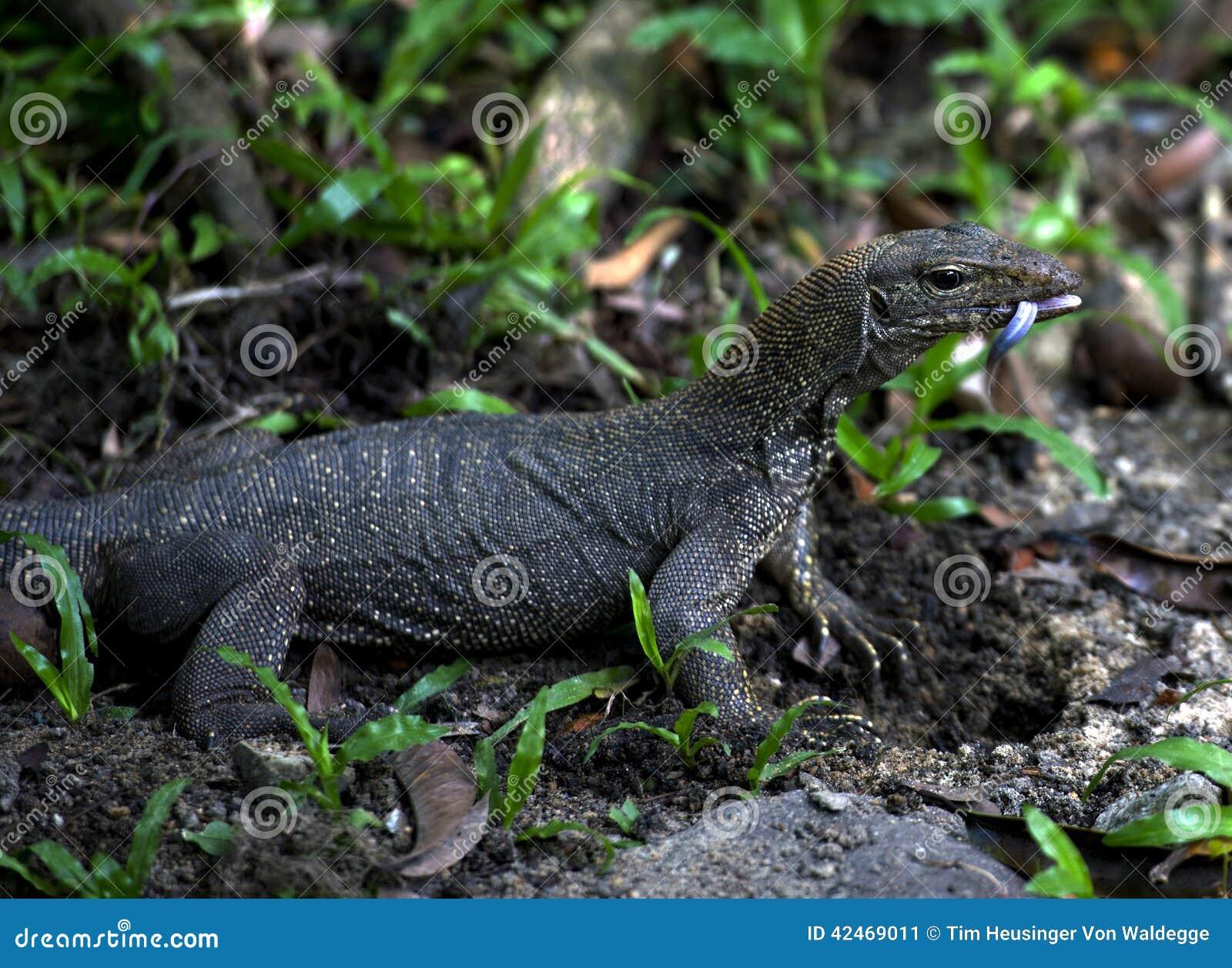 Asiatischer Wassermonitor (Varanus salvator)